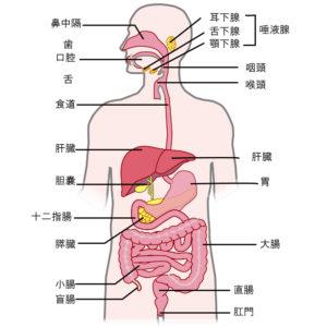 肝臓の大きさ